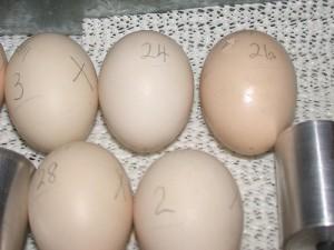 tojásfeldolgozás
